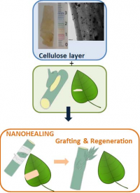 Effective method for plant wound healing